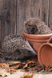 Hedgehogs in and Near Flowerpots Photographic Print