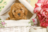 Apricot Poodle in Basket with Flowers Photographic Print