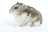 Russian Hamster in Studio Photographic Print