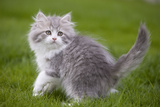 British Longhair 8 Week Old Kitten Outside Photographic Print