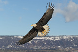 Adult Bald Eagle in Flight Photographic Print