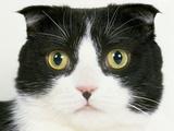 Domestic Scottish Fold Cat Photographic Print