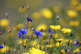 Corn Marigold in Bloom with Cornflowers Photographic Print