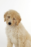 Goldendoodle Puppy Sitting Photographic Print