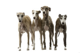 Whippets Photographic Print