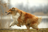 Rough Collie Running Photographic Print