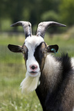 Goat Close-Up Head in Meadow Fotografisk tryk