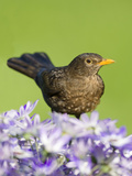 Blackbird Female Papier Photo