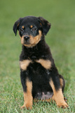 Rottweiler Puppy, Sitting Upright on Grass Photographic Print