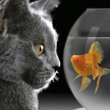 Cat Looks at Goldfish in Bowl Photographie
