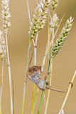 Harvest Mouse in Wheat Photographic Print
