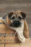 Border Terrier Puppy Sitting in a Box (13 Weeks Old) Fotografisk tryk