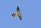 American Kestrel Male in Flight Photographic Print