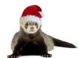 Ferret Wearing Christmas Hat Photographic Print