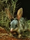 Bilby, Rabbit-Eared Bandicoot Central Australian Desert Photographie