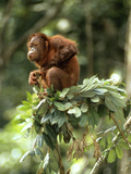 Orang-Utan in Tree Nest Photographic Print