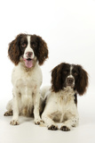 English Springer Spaniel Pair One Sitting Photographic Print