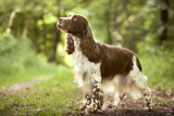 English Springer Spaniel in Woodland Photographic Print