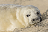 Grey Seal Pup on Beach Photographic Print