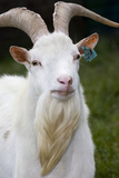 White Goat Photographic Print