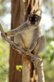 Common Brown Lemur Endemic Photographic Print