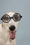 Greyhound Wearing Joke Magnified Glasses Photographic Print