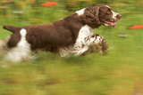 English Springer Spaniel Running Photographic Print