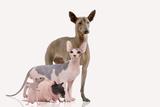 Hairless Animals Mexican Hairless Dog, Sphinx Photographic Print