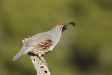 Gambel's Quail Adult Male Photographic Print