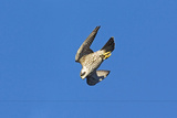 Peregrine Falcon Diving Photographic Print