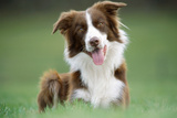 Border Collie Dog Facing Photographic Print