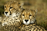 Cheetah Portrait of Pair Close Together Fotodruck