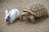 Dwarf Rabbit with Tortoise Papier Photo