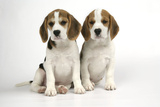 Beagle Puppies Sitting Down Photographic Print