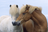 Icelandic Horse Two Smelling Each Other in Communication Photographic Print