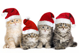 Siberian Cat Kittens in Christmas Hats Reproduction photographique