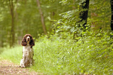English Springer Spaniel on Woodland Path Photographic Print