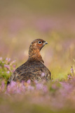Red Grouse Amongst Heather in Early Morning Sunshine Photographic Print