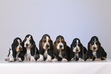 Basset Hound Puppies X6 Photographic Print