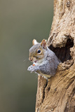 Grey Squirrel Looking Out from Hole in Tree Photographic Print
