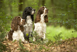 English Springer Spaniels in Woodland Photographic Print