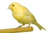 Yellow Canary on Perch Photographic Print