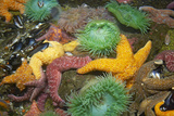 Ochre Sea Star and Giant Green Anemone Photographic Print