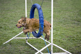 Agility Cocker Spaniel Jumping Through Hoop Photographic Print