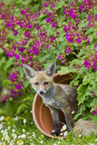 Red Fox Cub in Flower Pot Photographic Print