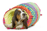 Basset Hound in Studio in Brightly Coloured Bed Photographic Print