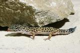 Leopard Gecko Fotodruck