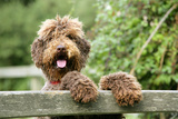 Brown Labradoodle with Front Paws on Gate Photographic Print