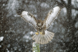 Buzzard Landing in Snow Shower Lámina fotográfica
