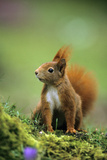 Red Squirrel on Alert Photographic Print